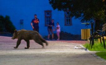 Néhány órán belül ötször riasztották a csendőröket Tusnádfürdőn a medvék jelenléte miatt