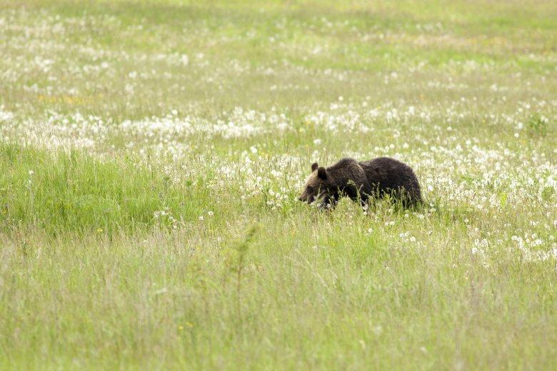 Emberre támadt a medve Székelypálfalván