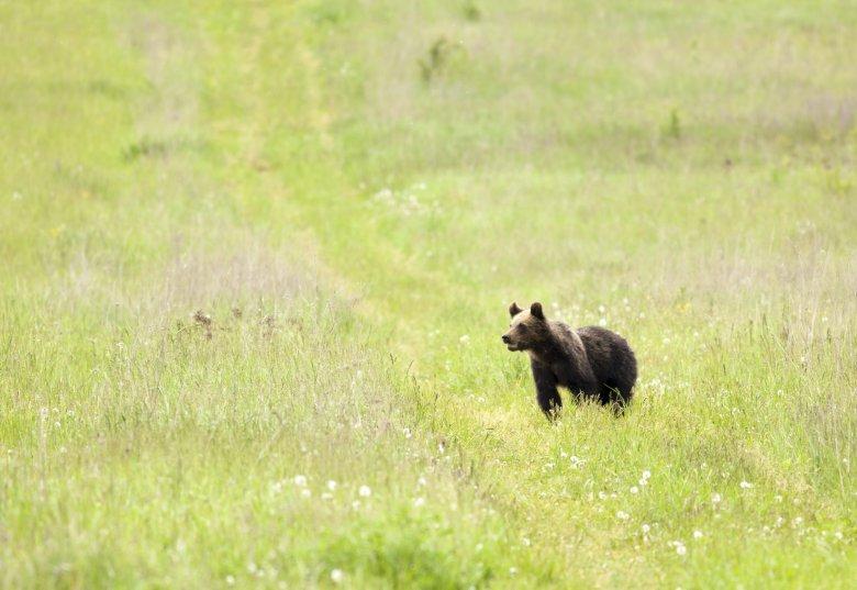 Medvét hajtottak a csendőrök Csíksomlyó Fitód felőli oldalában