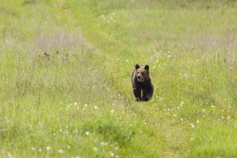 Emberre támadt a medve Kápolnásfalu határában