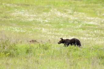 Medvét láttak Szentegyháza határában