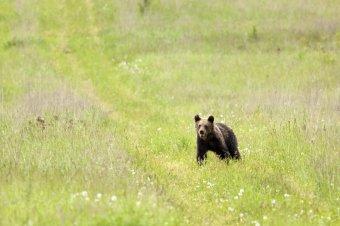 Állatokra vigyázott a mezőn, rátámadt a medve