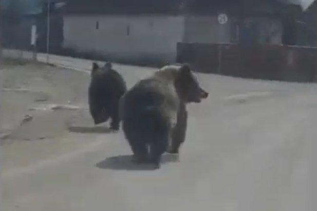Medvék rohangáltak Csíkkozmáson