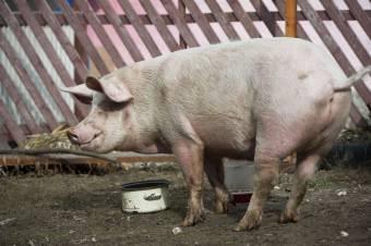 Ellehetetlenítenék a sertéstartást, de nem a maradékok tiltása és a fertőtlenítés jelenti a gondot