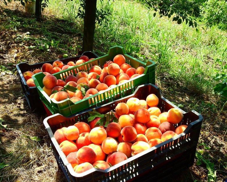 A székelyhídi Püsök István gazdasága: zöldség, gyümölcs minden választékban