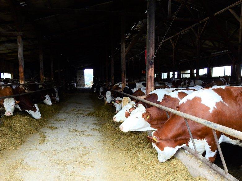 Honnan származik a tehéntej? – látogatóban a nyárádmenti Somosdon