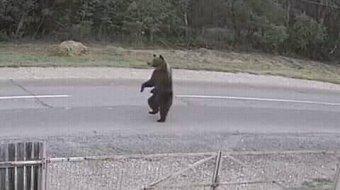 Újabb medvét gázoltak el:  ezúttal Brassó közelében került autó elé egy hárommázsás állat