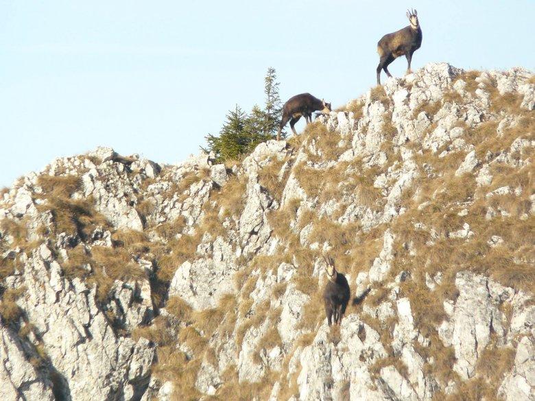 A juhászkutyák és a vadászok is veszélyt jelentenek a zergeállományra