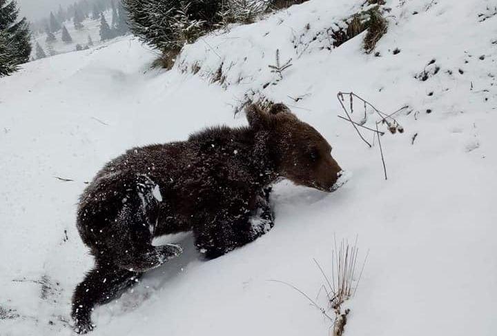 Gyergyóditróból is elszállítanák a kukázó medvebocsot