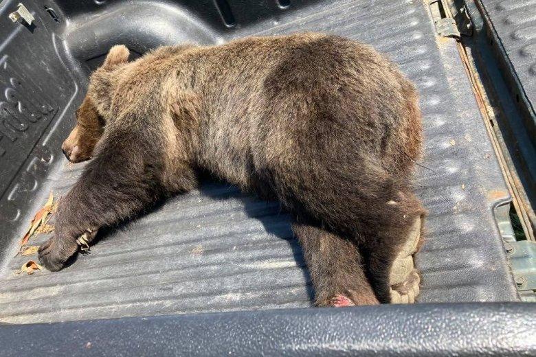 Medvetetemet találtak azon a környéken, ahol nemrég megölt a nagyvad egy embert