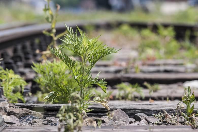 Parlagfűírtás: törvény is kötelezi a gyomnövény megsemmisítését