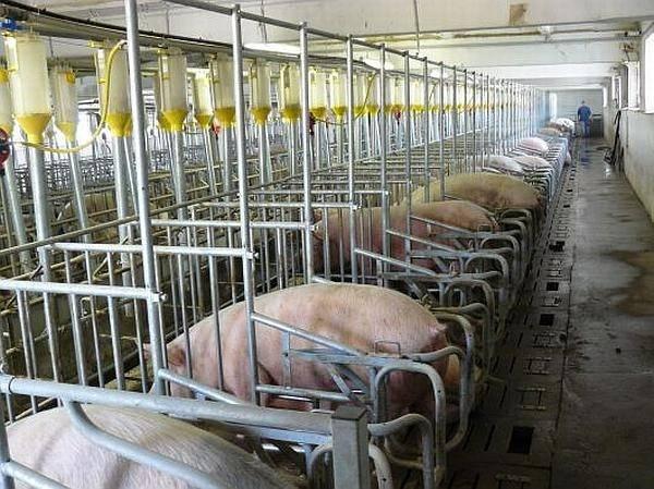 Meghaladta a 140 ezret az elpusztított sertések száma – közölte Petre Daea mezőgazdasági miniszter