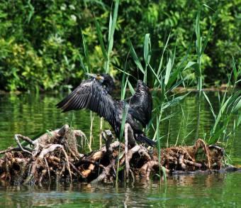 Daea megtizedelné a kárókatonákat: lánya halgazdasága révén érdekelt a miniszter a kormoránállomány ritkításában