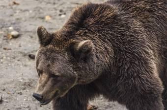 Holtan találtak rá a juhpásztorra, valószínűleg egy medve ölte meg</h2>