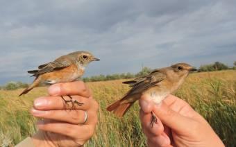 Duna-deltai madárcsicsergés – ornitológus mesél a gyűrűzőtáborról