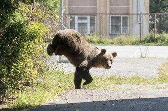 A medve esete a zöld szervezetekkel