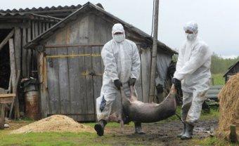 Újabb 13 ezer állatot ölnek le a sertéspestis terjedésének megelőzése érdekében