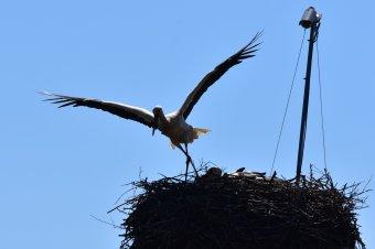 Magyarfenesre is megérkezett az első gólya