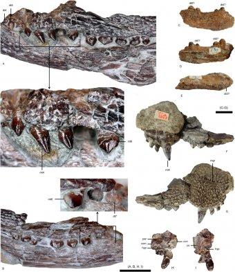 Új krokodil alakú faj vonul be a rendszertanba – eddig ismeretlen, késő krétakori hüllő ép koponyáját tárták fel a BBTE kutatói
