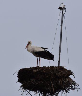 Alternatíva természetnézésre: gólyák kamerán át