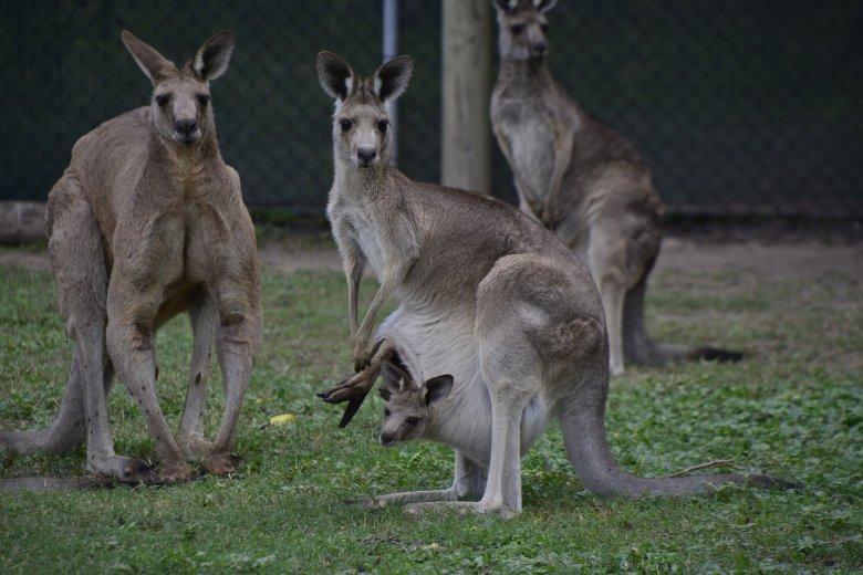 Kutyák marcangolták szét a temesvári állatkert kenguruit