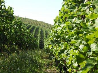 A borászat is megsínylette a járványt: a testes vörös borok mellett újakkal is kísérletezik Balla Géza arad-hegyaljai pincészete