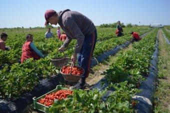 """Késni fog a szatmári eper is a rossz időjárás miatt, támogatást szomjaznak a fejlesztésekre """"kényszerített"""" gazdák"""