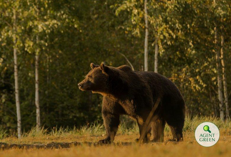 A rendőrség, a környezetvédelmi és az erdőőrség is vizsgálatot indított Arthur medve ügyében