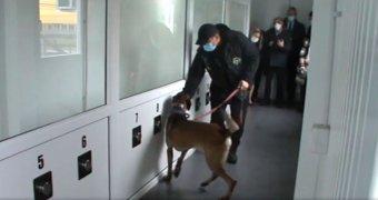 Kísérleti terv: a szebeni reptéren rendőrkutyák fogják azonosítani a koronavírussal fertőzött embereket