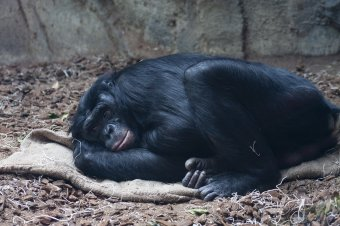 Veszélyben az afrikai főemlősök: természetes élőhelyeik akár 90 százalékát is elveszthetik