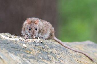 A patkányok hatvan év alatt mintegy 5,5 milliárd euró költséggel jártak Európában
