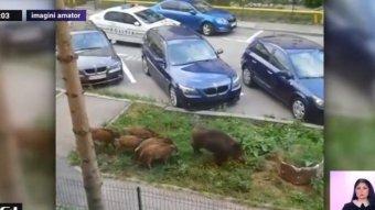 Vaddisznókat terelgettek a rendőrök Sinaián