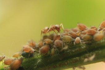 Hogyan modellezhető a hangyák táplálékszabályozása?