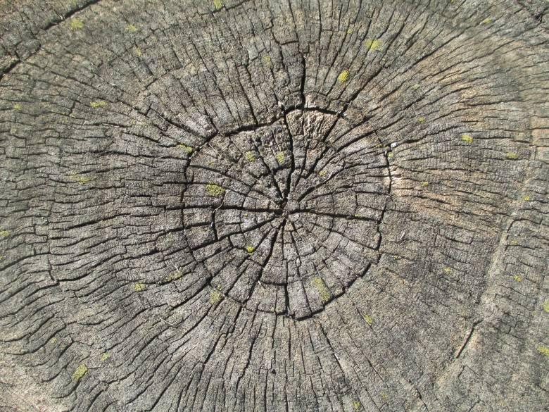 Mítoszromboló évgyűrűk: dendrokronológiai kutatások Erdélyben