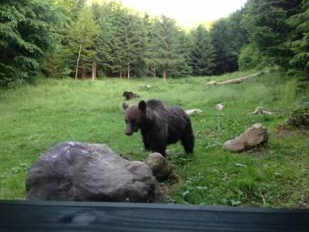 """Csak tüneti kezelést nyújtanak a """"medvevészre"""" – hasznos, de hiányos a vadászati törvényt módosító tervezet"""