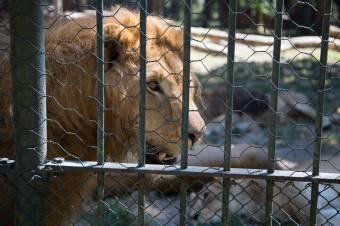 Az oroszlánok lustálkodnak, a medvék pancsolnak, avagy kánikula az állatkertben is