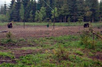 Igaz medvemesék a lesen: új vendégcsalogató a Bucsin alatt