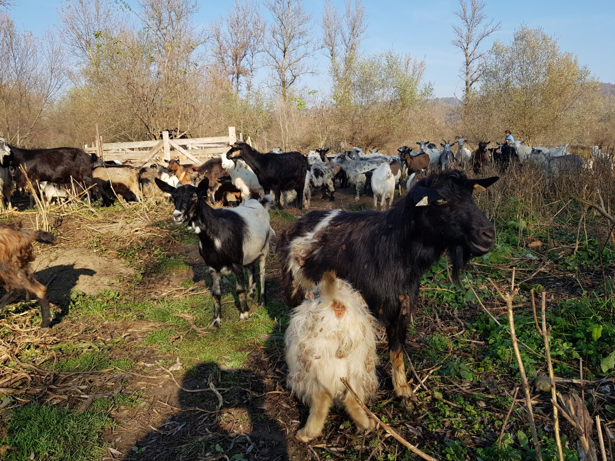 A törzskönyvezés előtt álló kecskeállomány •  Fotó: Makkay József