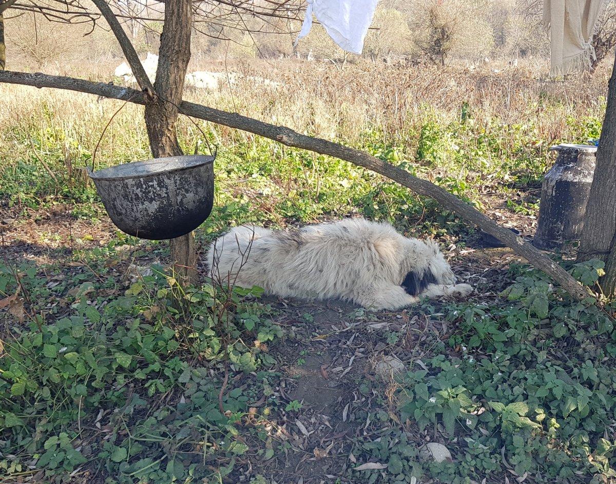 Csendélet pásztorkutyával •  Fotó: Makkay József