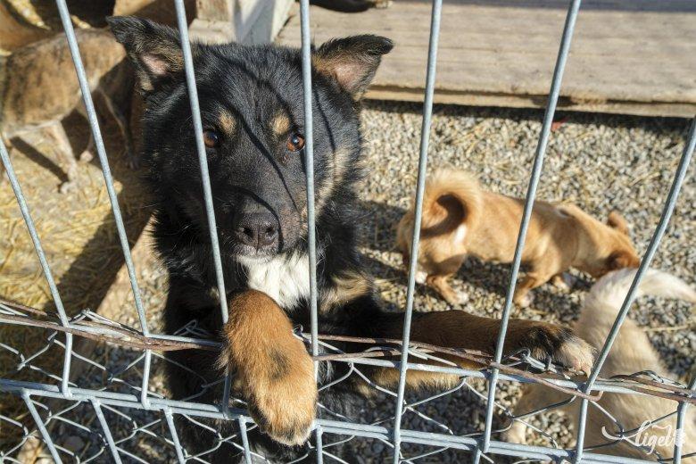 Ingyen ivartalanítják a kutyákat Sepsiszentgyörgyön