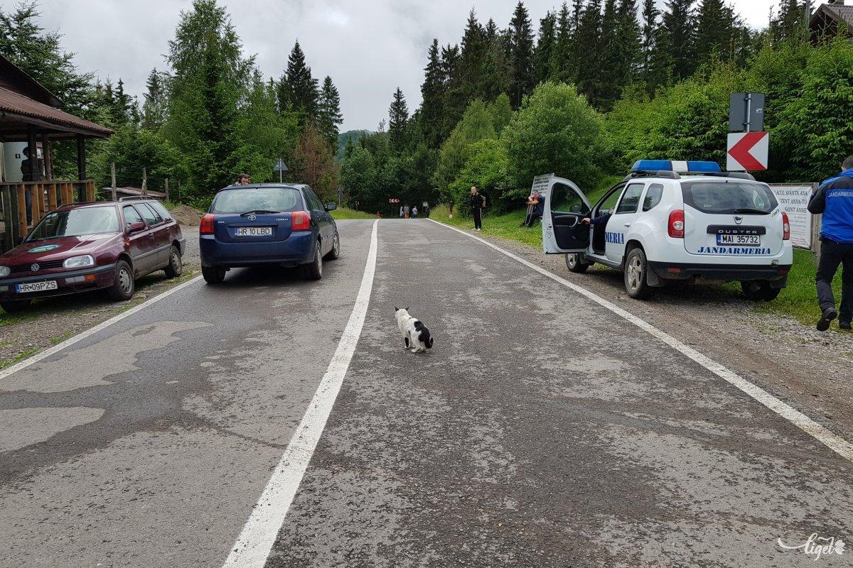 Vándort, a parkőrök házi macskáját nem fenyegeti veszély az úttest közepén. Az éhhaláltól mentették itt meg •  Fotó: Rédai Attila
