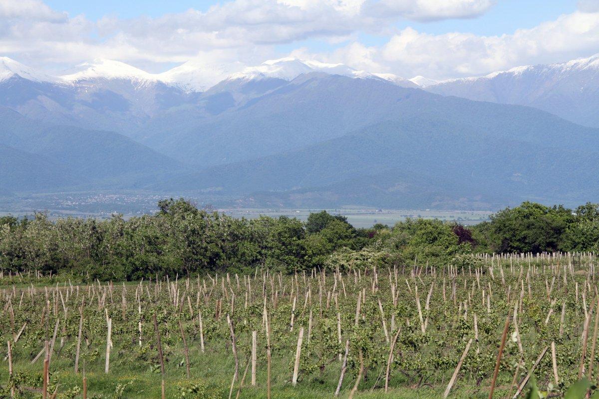 Minden egy helyen: a Kaukázus hófödte csúcsai és a méltán híres grúz szőlősök •  Fotó: D. Balázs Ildikó