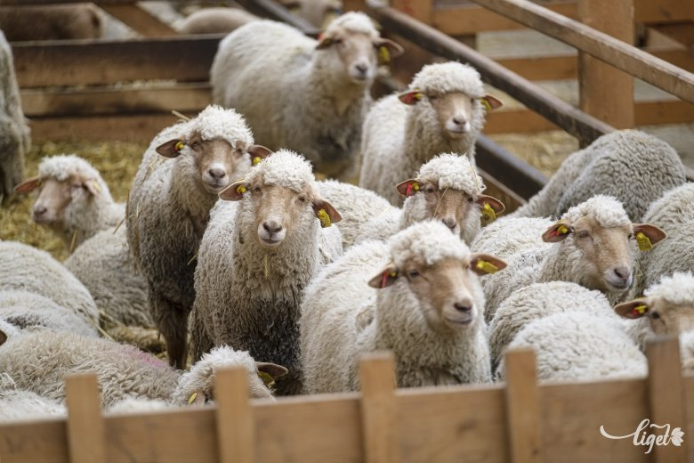 Elmaradnak a bárányvásárok: egyre csak terjed az afrikai sertéspestis Udvarhelyszéken
