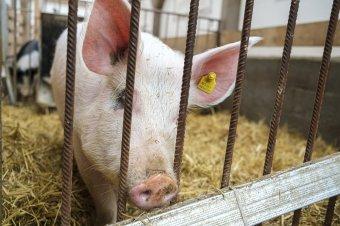 Álhírek és tények a sertéspestis-fertőzéssel kapcsolatban