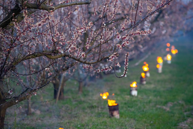 Jelentős kárt tettek az éjszakai fagyok a korán virágzó gyümölcsfákon