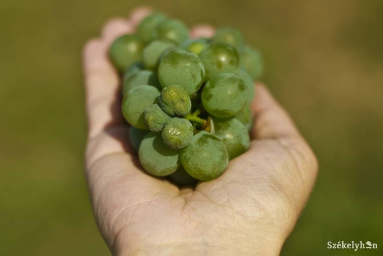A szokásosnál egy hónappal hamarabb lehetne szüretelni a szőlőt