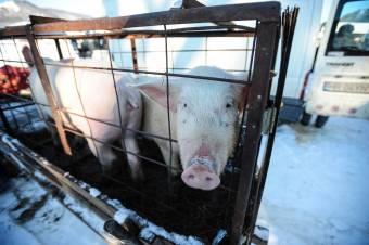 A háztáji sertéstartás korlátozása helyett az állatkereskedők tevékenységét szabályozná a mezőgazdasági miniszter