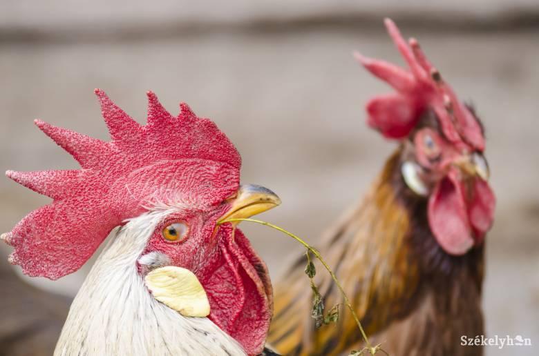 Újabb, Székelykeresztúr környéki gazdaságban ütötte fel a fejét a madárinfluenza