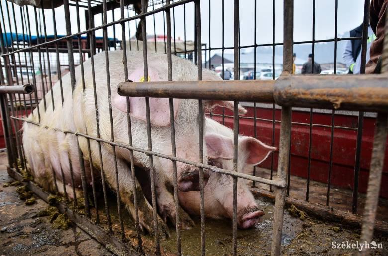 Hatszáz sertést fuvarozó szállítmányt fordítottak vissza Kovászna megyéből