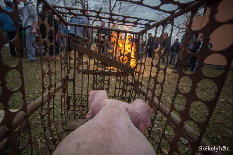 Nincsenek újabb sertéspestises esetek, szabad az út a disznóvágások előtt